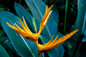 Heliconia at The Botanical Ark Retreat