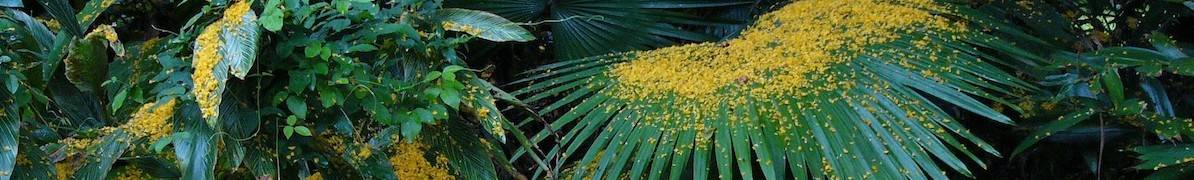 Yellow seeds on palm leaf