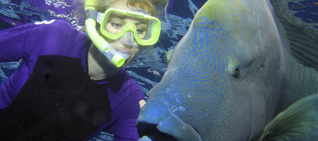 Diving with Maori wrasse in Great Barrier Reef, near Port Douglas, Queensland, Australia