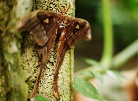 Wildlife_Hercules moth TPDD